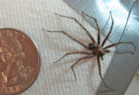 Barn Spider Bite by Barn Funnel Web Weaver Spider What S That Bug