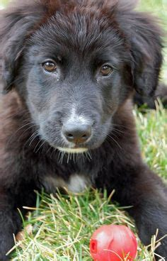 border collieflat coated retriever mix dog  adoption