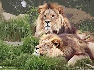 fond d39ecran lions au repos With plan de maison original 14 fond decran lion blanc