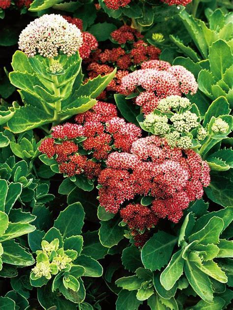 easy to grow perennials pretty sedum is an easy to grow perennial that turns brick red during the fall my garden