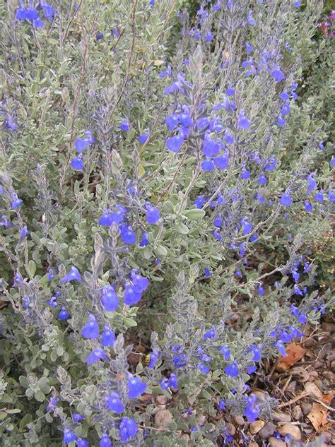 salvia chamaedryoides high plains gardening