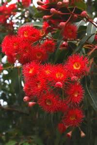 Red Flowering Gum Tree