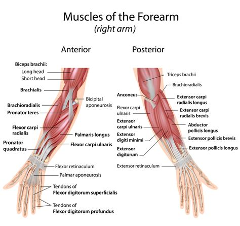 They are shown in the illustration below. Where Forearm Pain Comes From & How To Resolve It ...
