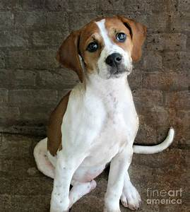 The gallery for --> American Foxhound Pitbull Mix