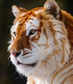 Best Tiger Lion Crosses Images Big Cats