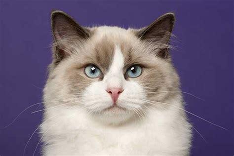 are siberian cats hypoallergenic