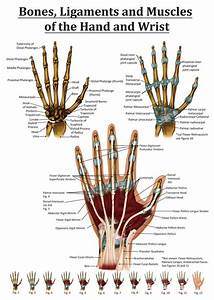 Anatomy Of The Hand And Wrist From The Right Hand  Points Out Many Muscles  Ligaments  Tendons