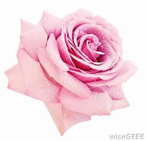 What do Different Colors of Roses Mean? (with pictures)
