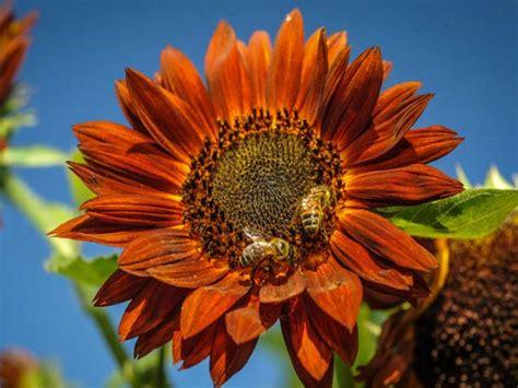 red sun sunflower baker creek heirloom seeds