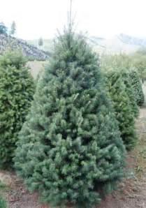 tree farm douglas fir trees