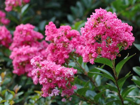 shrubs that bloom all summer summer flower summer flowering shrubs