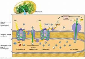 Chloroplast Diagram Atp Synthase