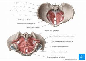 Pelvis And Perineum  Anatomy  Vessels  Nerves