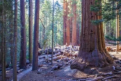 Trail Giant Sequoia Giants National Tree Across
