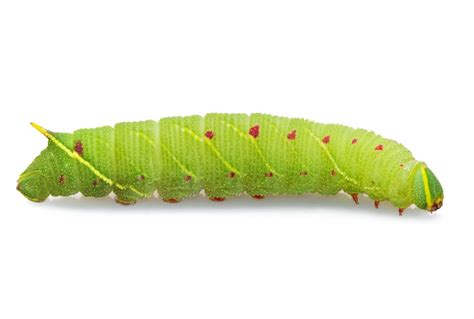facts  pictures     green caterpillar
