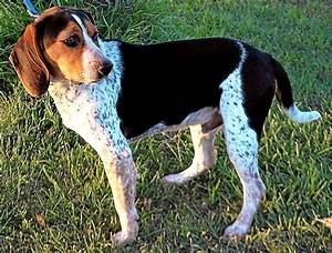 Beagle Coonhound Mix | www.pixshark.com - Images Galleries ...