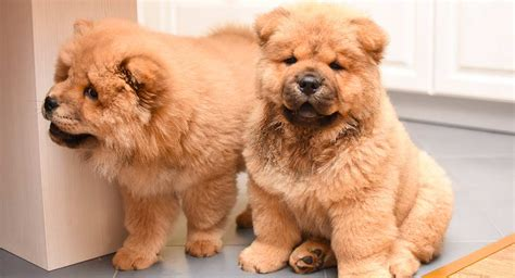 chow chow names   magnificent names