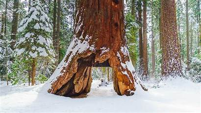 Trees Tree State Calaveras Pioneer Park Cabin