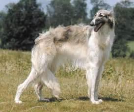 Borzoi Russian Wolfhound Dog