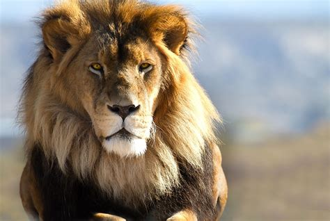 lions  worldatlas