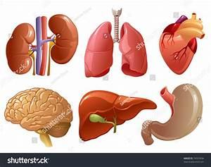 Internal Organs Stock Vector 74337634 Shutterstock