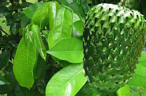 35 manfaat daun sirsak begini cara membuat obatnya