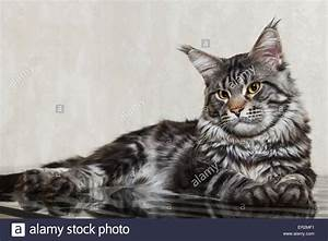 Black tabby maine coon cat with yellow eyes and big lynx ...