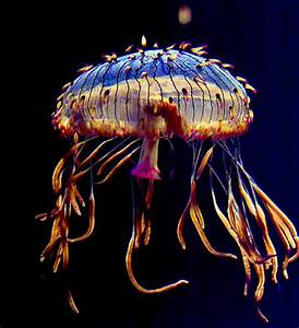 Life of Flower Hat Jelly - Life of Sea