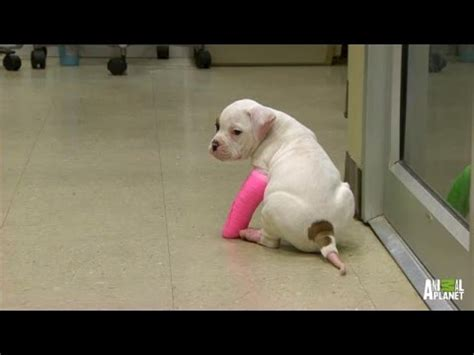 precious puppy   wearing casts