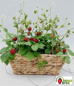 Erdbeeren Pflege Balkon : balkon fensterbank erdbeere 39 font erdbeeren bei baldur ~ Lizthompson.info Haus und Dekorationen