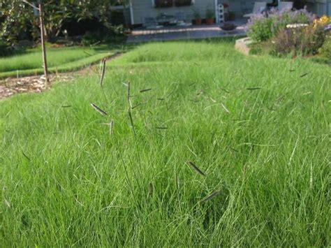 Consider Planting Native Grasses  Burlington Record