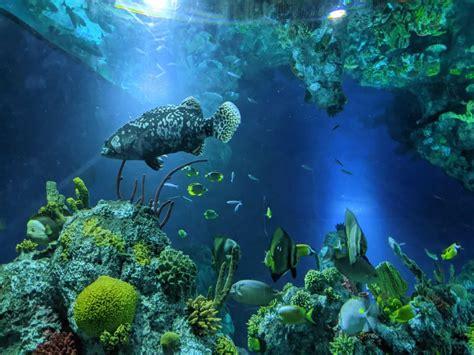 grouper aquarium giant bristol coral seas exploring display