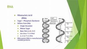 Dna And Rna  Definition  Structure  U0026 Discovery