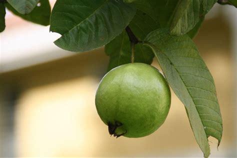 mewarnai gambar pohon jambu biji