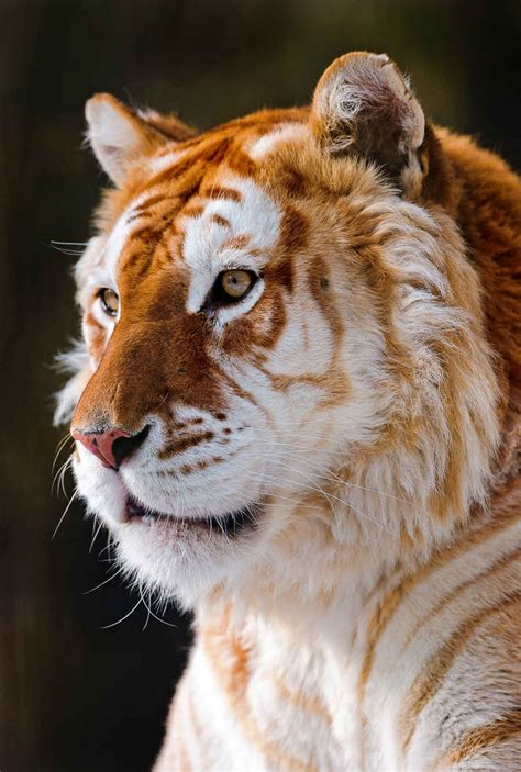 Weekly Inspiration Animals Golden Tiger