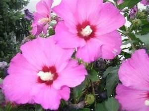 Wann Schneidet Man Hibiskus : hibiskus garten eibisch page 4 mein sch ner garten forum ~ Lizthompson.info Haus und Dekorationen