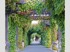 Grape Vine Covered Arbor Photograph by K L Kingston