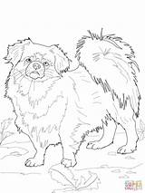 Coloring Spaniel Pages Tibetan Dog Drawing Printable Dogs Pomeranian Poodle Adults Pitbull American Cartoon Outline Bulldog Poodles Mastiff Clipart Colorings sketch template