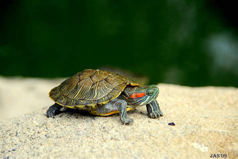 Turtle Images Turtle Wallpapers Wallpaper Cave