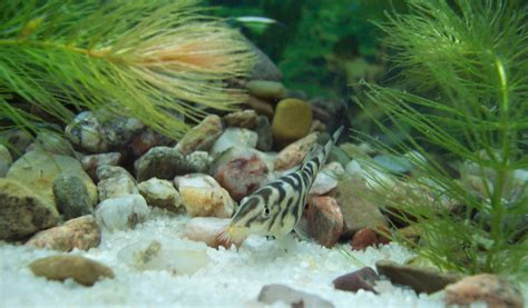 yoyo loach pakistani loach  care feeding