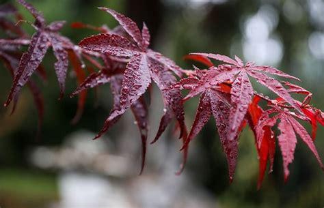 Japanischer Garten Ahorn by Japanischer Ahorn Arten Pflegetipps Der Richtige Standort