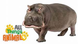 Hippos  Animals For Children  Kids Videos  Kindergarten