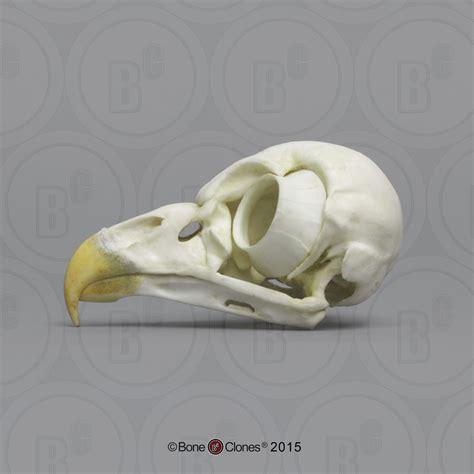 barred owl skull bone clones inc osteological