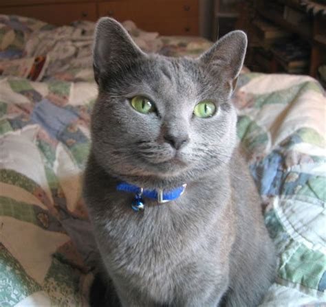 russian blue cat breeders top 10 most expensive cat breeds realitypod part 2