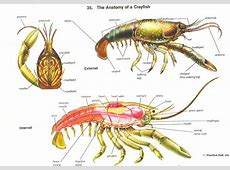 Crayfish dissection directions Hendoscience