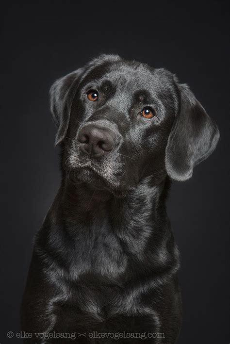 best ideas about labradors on 25 best ideas about black labrador on black