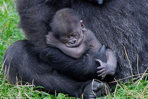 Baby gorilla is cradled by her 16-stone mother after being ...