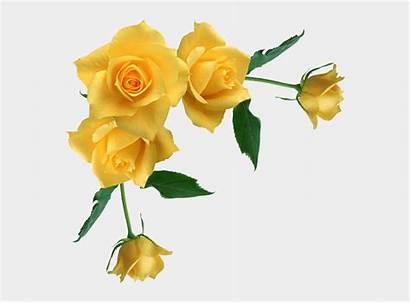 Yellow Rose Roses Corner Transparent Clipart Background