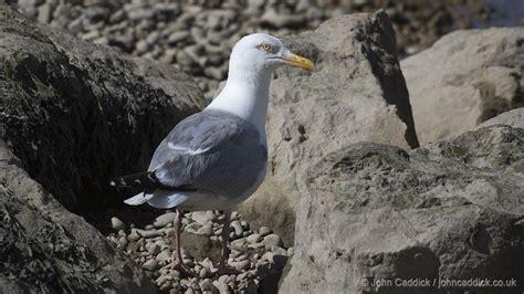 European Herring Gull  John Caddick  John Caddick