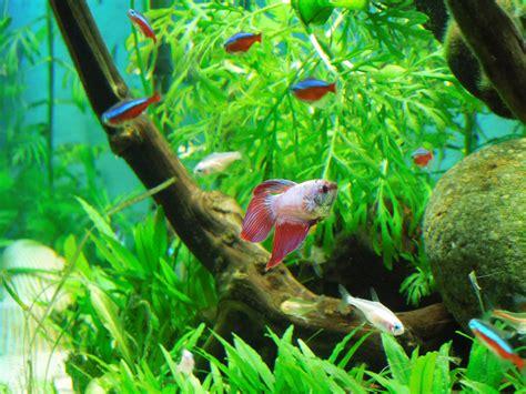 neon bleu aquarium eau douce tetra fish and betta betta fish and neon tetra 2017 fish tank maintenance
